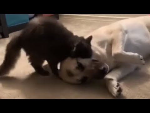 Hilarious cat wakes up sleeping dog for playtime