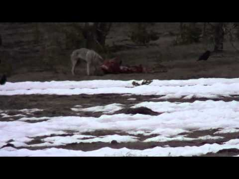 Yellowstone Wolf on Elk Carcus