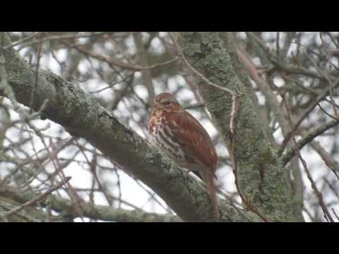 Fox Sparrow singing