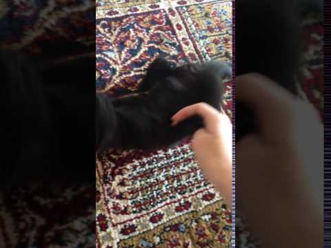 Bombay Black Kitten Wrestling and Gets Scared