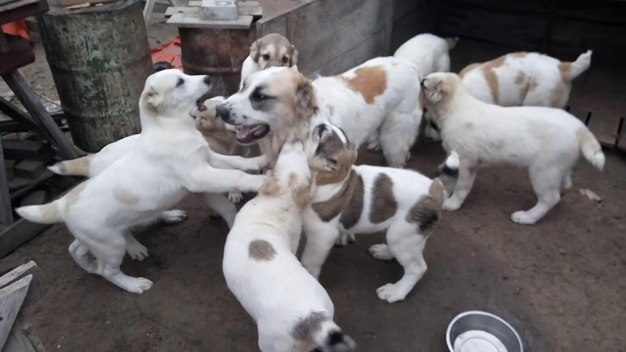 Купить щенка алабая в зоомагазине киева: большой выбор щенков алабая в киеве продажа алабаев от владельцев. На ria. Com есть объявления.