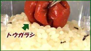 蟻戦争Ⅲ#221 アリが湧いた「お米」に「唐辛子」を入れたらどうなる・・・?  編~If you put pepper in rice with ants~