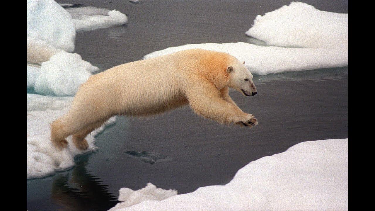 Célèbre Les Ours polaire en voie de disparition - YouTube NI26