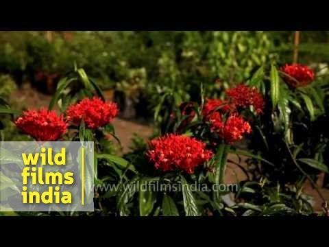 Ixora flowers flourish in the humid warm climate of Alappuzha in Kerala