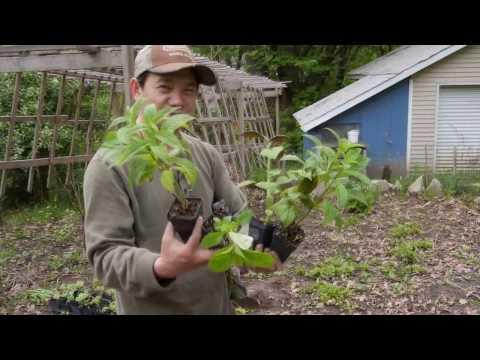 How to Use Backyard for Sustainable Gardening (Vaj Zaub Ntawm Tog Tsev)