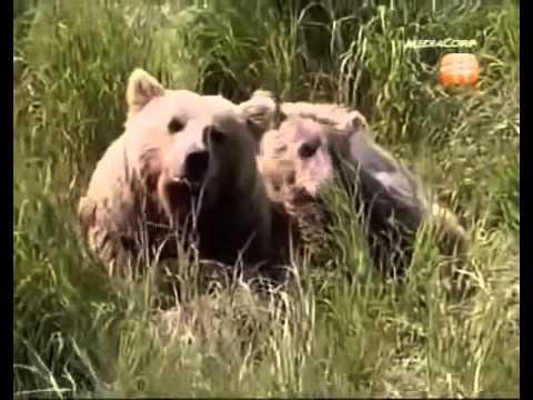 Salmon Vs Grizzly Bears - The Great Salmon Run Documentary - Fishing Tv HD