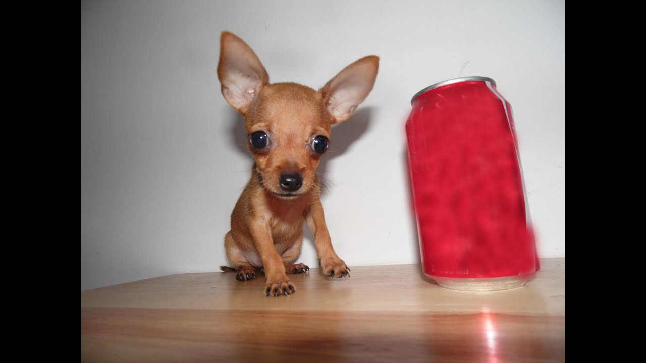 Mini Dog Toys