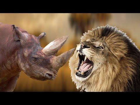 Лев против носорога. Кто сильнее носорог или лев?