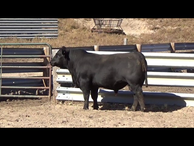 Connealy Angus Lot 135