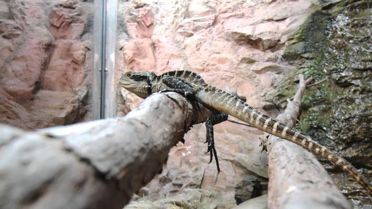 Australian Water Dragon Lizard: National Aquarium Of New