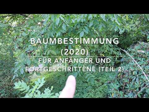 Baumbestimmungskurs 2020 (Teil 2)