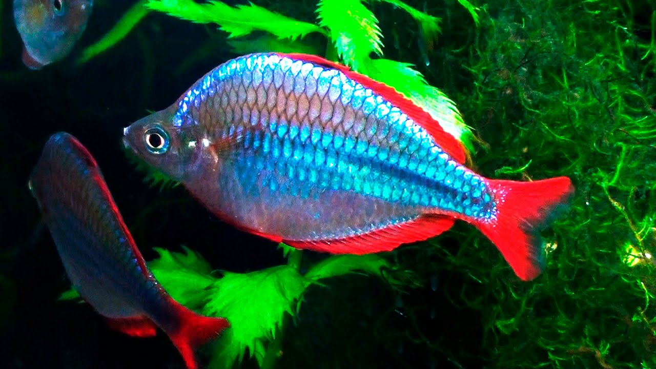Melanotaenia praecox youtube for Dwarf rainbow fish