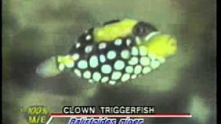 3in clown trigger fish