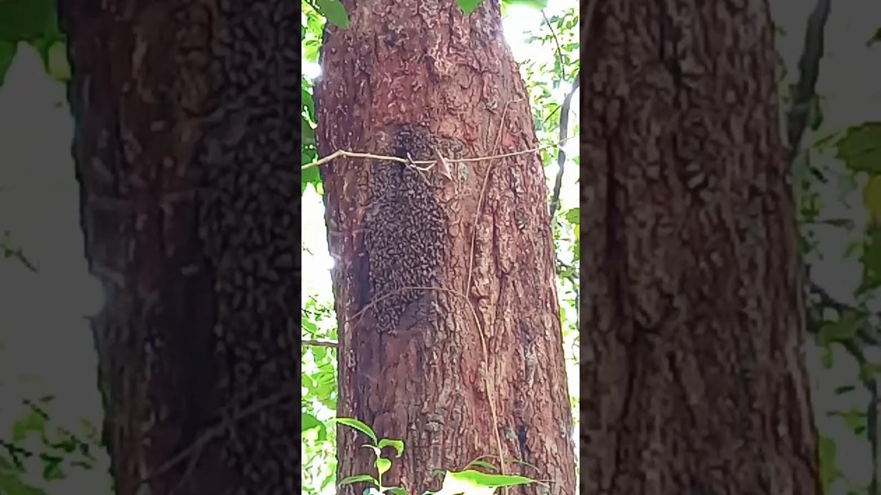 Tawon Bersarang Dalam Lobang Pohon Kayu Ara.... - YouTube