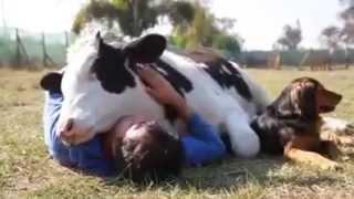 Коровы тоже любят обниматься