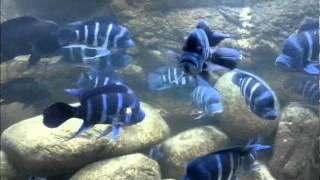 Repeat youtube video Cyphotilapia Gibberosa Kitumba in Norway