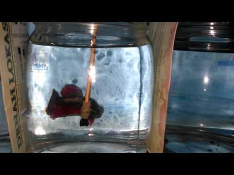Ikan cupang Giant ukuran 3 sd 5 cm