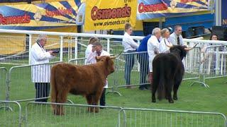 Gwartheg yr Ucheldir | Highland Cattle