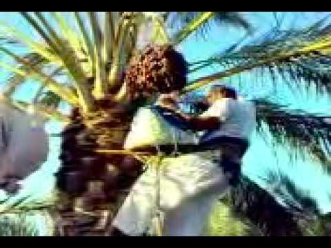 picking date from palm tree in Kookherd Bastak IRAN برداشت خرما