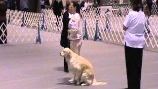 Brea Bel Canto Angela Golden Retriever 2013 Akc Eukanuba/classic Obedience Novice