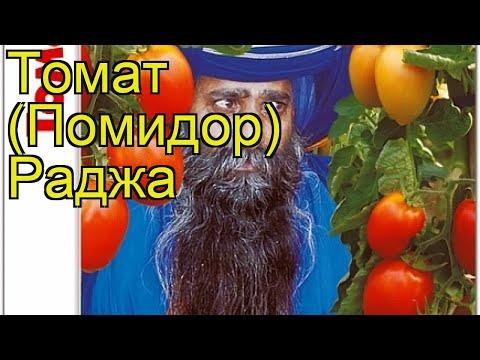Томат Раджа. Краткий обзор, описание характеристик, где купить семена solanum lycopersicum Radzha