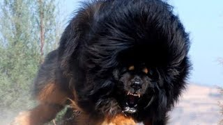 Tibetan mastiff | World's biggest dog