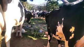 Gambar cover Cow market loni maharashtra 7756929257