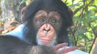 Animal Outtakes 2.01: Chimpanzees