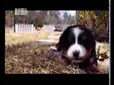 Berneński Pies Pasterski - animal planet po polsku