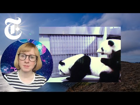I Watched These Pandas Have Sex. I've Never Been So Happy | NYT
