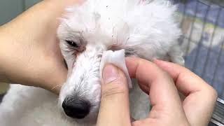 강아지눈꼽&눈물…