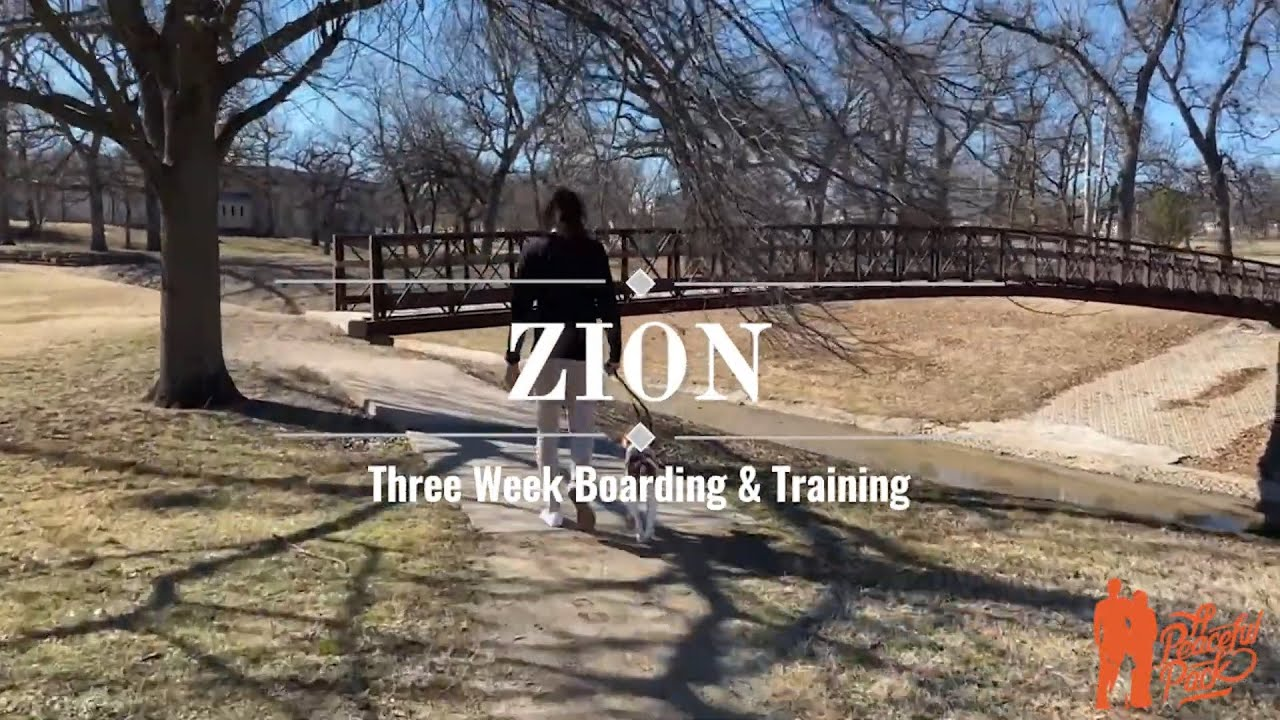 Zion - Brittany Spaniel - Three Week Boarding & Training - A Peaceful Pack Dog Training in Tulsa
