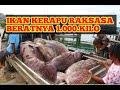 - Nelayan berhasil menangkap 100 ekor kerapu raksasa dan ratusan kepiting bakau #Giant grouper fishing