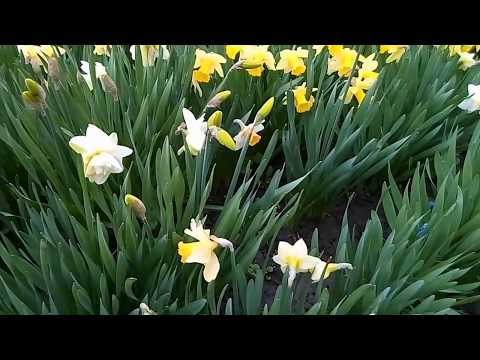 Нарцисс. Виды и сорта -