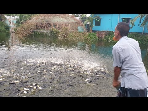 Million Pangasius Fish,Tilapia ,carp , Catfish Eating Food In Pond Amazing Fish Feeding Competition