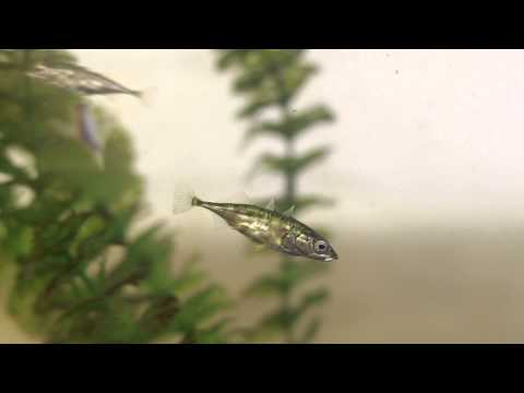 Three-spined Stickleback Using Its Spine