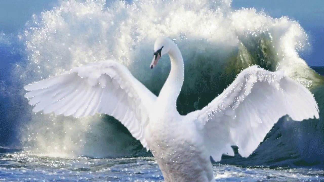 Лебедь гифка