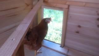 Le chant de la poules