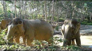 Phuket Elephant Heaven : The First Rescued 3 Elephants