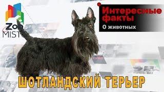 Шотландский терьер - Интересные факты о породе    Собака породы шотландский терьер