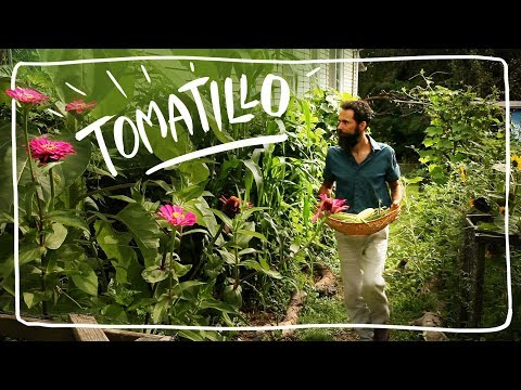 Growing Tomatillos in My Annual Food Forest