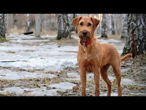 Irish Terrier and Irish Wolfhound - amazing dogs