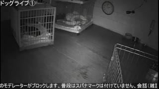 【24時間ライブ①】いたずらダックスに癒されるお部屋(*'ω' *) ライブカメラ①