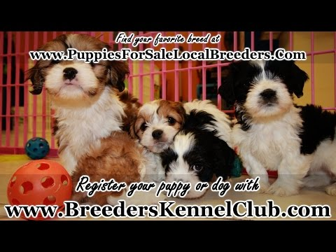 CAVACHON PUPPIES FOR SALE IN GEORGIA LOCAL BREEDERS