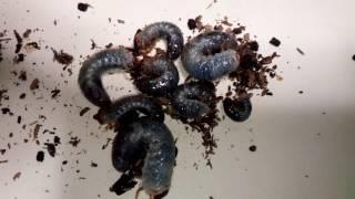 今年生まれた幼虫です 5月20日頃から生まれ始め大きいのは3㎝か小さいの...