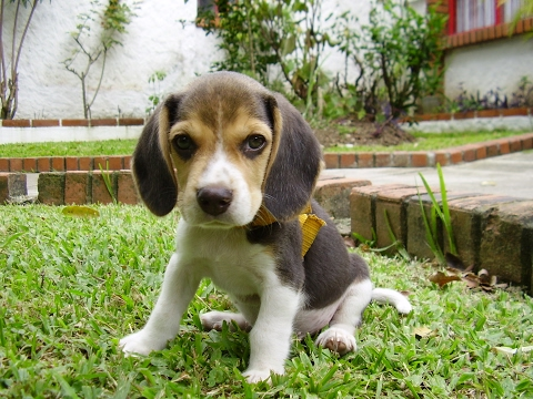 Beagle / Raza de Perro