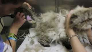 Cat Grooming - Extreme mats thumbnail