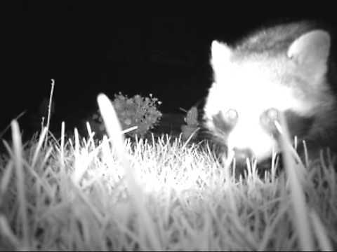 Nachts Im Garten Waschbär Youtube