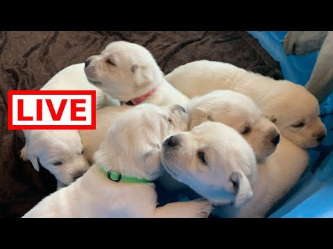 LIVE STREAM Adorable Lab puppies - day 19 of life! (part 2)