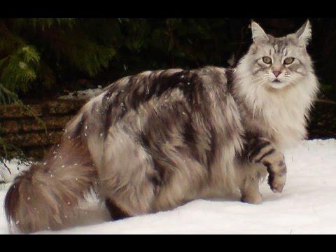 Características del Gato Maine Coon - TvAgro por Juan Gonzalo Angel